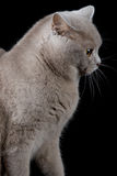 Gray cat looking a side Royalty Free Stock Image