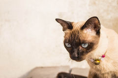 Gray cat looking Royalty Free Stock Images