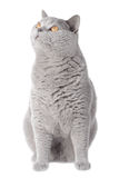 Gray cat looking up. Big fat grey isolated cat looking above Royalty Free Stock Photos