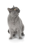 Gray cat looking up. Isolated on white background Royalty Free Stock Image