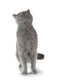 Gray cat looking up. Isolated on white background Royalty Free Stock Images