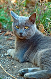 Gray cat looks ahead. Intelligent expression Stock Photos