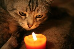 Gray cat that looks at the candle royalty free stock image