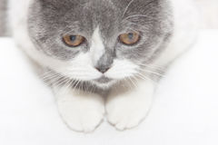 Gray cat looks down Royalty Free Stock Photos