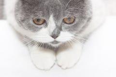 Gray cat looks down Royalty Free Stock Photos