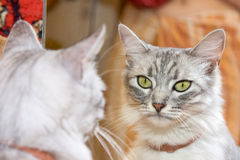 The gray cat looks in the mirror Stock Photography