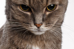 Gray cat lowered his head guiltily Stock Photography