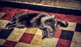 A gray cat lying on a carpet Stock Photos