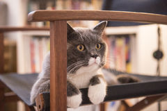 The gray cat lying on a chair Royalty Free Stock Photos