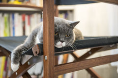 The gray cat lying on a chair Royalty Free Stock Photography
