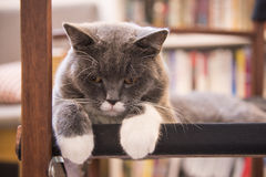 The gray cat lying on a chair Royalty Free Stock Photo