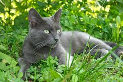 Gray cat lying on the grass Royalty Free Stock Photography