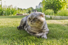 Gray cat lying on the grass. Royalty Free Stock Image