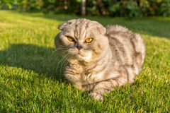 Gray cat lying on the grass. Royalty Free Stock Photography
