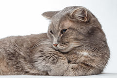 Gray cat lying paws clasped together Stock Image