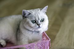 The gray cat is lying in a pink basket in the room.soft focus royalty free stock photography