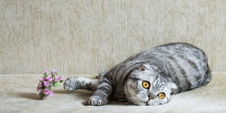 Gray  cat lying on the sofa. Gray tabby cat lying on the sofa Royalty Free Stock Photos
