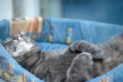 Gray cat lying Royalty Free Stock Photo