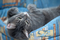 Gray cat lying Stock Photos
