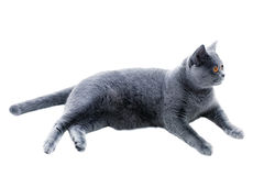 Gray cat lying on a white background Stock Photos