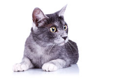 Gray cat lying on a white background Stock Photography