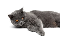 Gray cat lying on a white background close-up Stock Photography