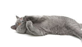 Gray cat lying on white background Royalty Free Stock Image