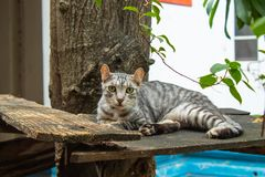 Gray cat lying on the wooden floor. Thailand Stock Photos