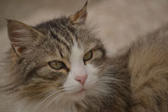 Gray cat - Maine Coon Royalty Free Stock Photography