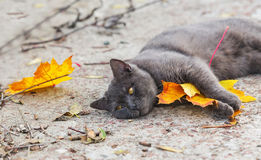 Gray cat with a maple leaf between paws Stock Photo