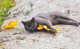 Gray cat with a maple leaf. Royalty Free Stock Images