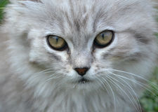 Gray cat. Muzzle green eyes Royalty Free Stock Photo