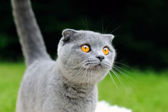 Gray cat on nature Royalty Free Stock Image