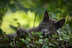 Gray cat in the nature royalty free stock images
