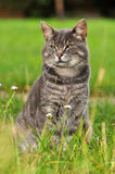 Gray cat on the nature, sidelong glance. Adult gray cat on a background of green grass Royalty Free Stock Image