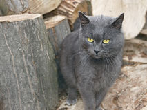 Gray cat near the wooden logs Stock Image
