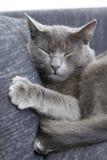 Gray Cat On A Sofa Stock Photo