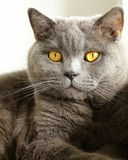 Gray cat with orange eyes Royalty Free Stock Images