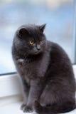 Gray cat with orange eyes Stock Photos
