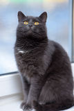 Gray cat with orange eyes Royalty Free Stock Photo