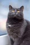 Gray cat with orange eyes Royalty Free Stock Photography