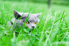 Gray cat in park Royalty Free Stock Photo