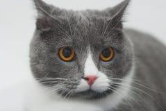 Gray Cat Pet met het Gele ja Zitten op Gebreide Deken Selectieve nadruk De ruimte van het exemplaar stock afbeelding
