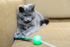 Gray cat playing with cat toys Royalty Free Stock Photos