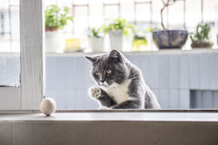 The gray cat playing Royalty Free Stock Images