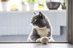The gray cat playing Royalty Free Stock Image
