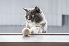 The gray cat playing Stock Photography