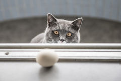The gray cat playing Royalty Free Stock Photo