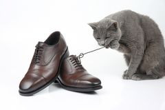 Gray cat plays with a classic lace men`s brown Shoe on white bac stock photo