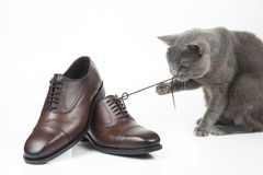 Gray cat plays with a classic lace men`s brown Shoe on white bac royalty free stock images